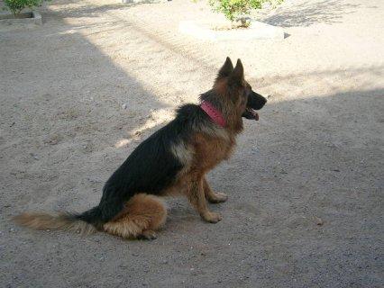 كلب جيرمن جامد جدا وبى سعر جامد  وتاعه وشراسه كلب عالى جدا