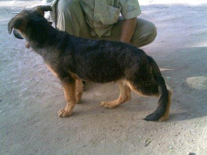 يوجد كلاب شيرمن للبيع فى القاهرة ويبداء السعر من 800 وكلاب جامده