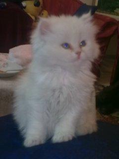 قطط للبيع فى القاهرة باسعار جمدا جدا وتبداى من80 جنيه لى 250 ج