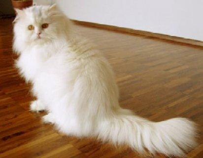 قطط لبيع فى القاهرة بسعر مغرى جدا ويوجد قطط من 80 جنيه