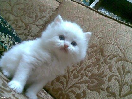 قطط لبيع فى القاهرة بسعر مغرى جدا ويوجد قطط من 80 جنيه .
