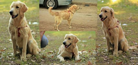 golden retriever female for sale