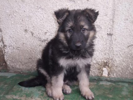 german shebard puppy