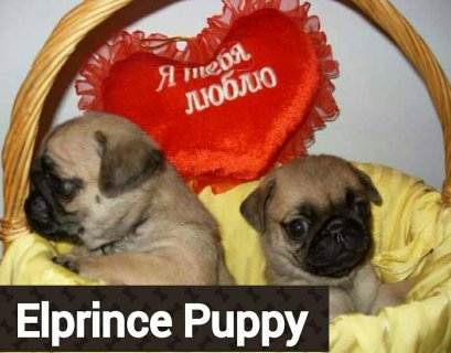 صور The best puppies pug mini size from ukraina 1