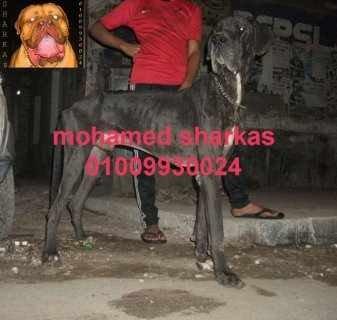 للبيع كلب جريت دان ممتاز سنه و8 شهور 01009930024
