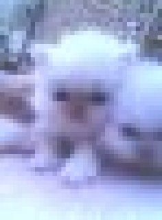 اجمل هديه فى راس السنه قطه بيضاء عيون زرقاء عمر 45