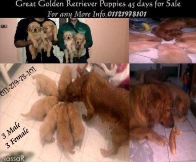 جولدن Great Golden retriever puppies for sale
