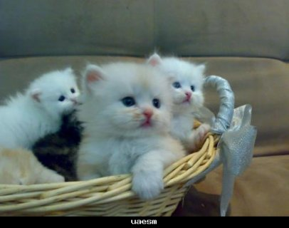 يوجد قطط صغيرا وكبير وياسعار تبداء من 80 ج بس الحق العرض