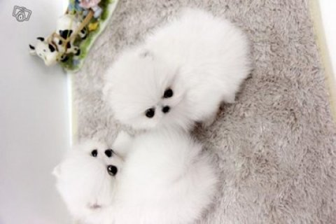 Excellent and Adorable male and female Pomeranian For you