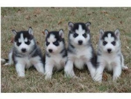 2 Siberian Husky Puppies for Adoption