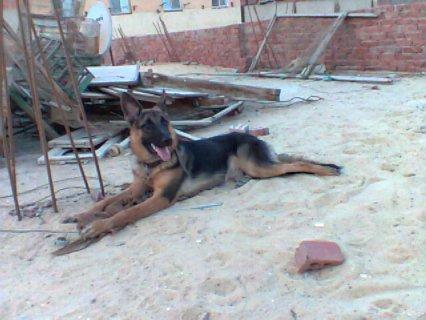 كلب شرس حتة الموت مخاص لصحبو بى 1400 للجادين فقط