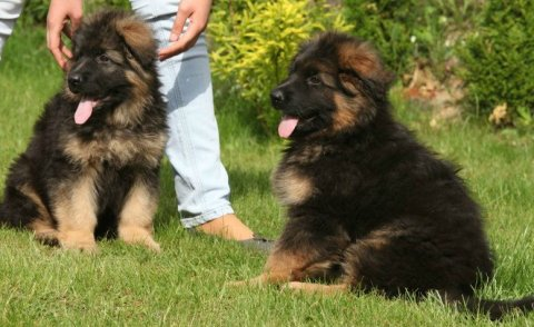 long hair German shepherd puppies