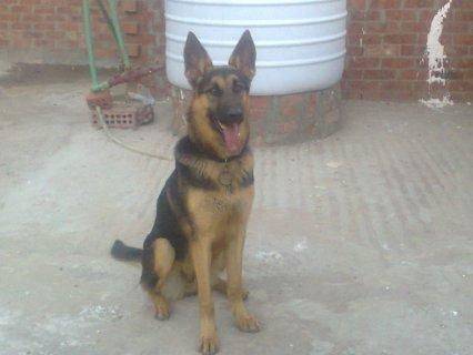 كلاب جيرمن للبيع باسعار تبداء من700 جنيه واجمد الكلاب