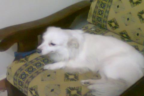 يوجد كلبه لولو نتايه حامل باسعار مغريه جدا