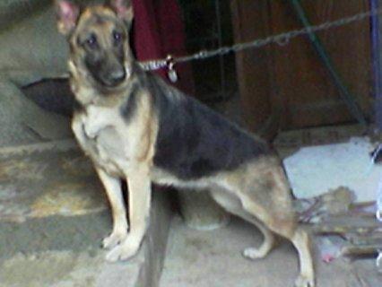 كلاب جيرمن للبيع باسعار تبداء من700 جنيه واجمد الكلاب .