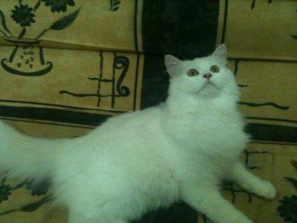 يوجد قطط شيراز كتير باشكال كتير وانواع اكتر ويبداء السعر من 80 ج