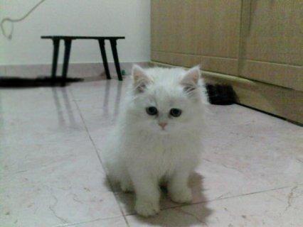 يوجد قطط شيراز كتير باشكال كتير وانواع اكتر ويبداء السعر من 50ج.