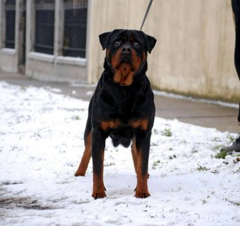 for sale super rott  puppies males & females 5 monthes