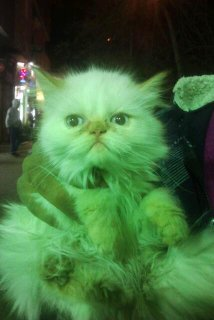 مجموعه قطط هملايا اورانج وشوكلت للبيع