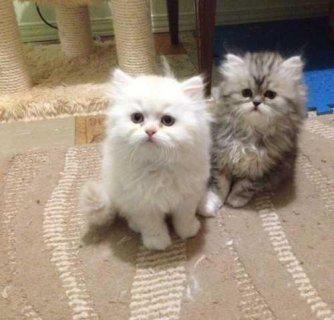 قطط شيرازى للبيع فى القاهرة باسعار مغريه