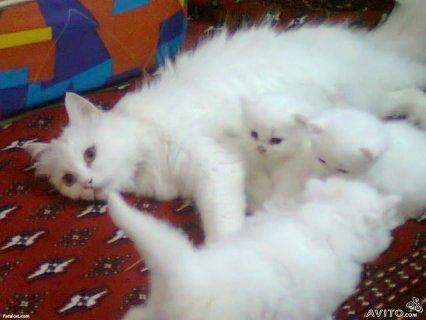 قطط شيرازى للبيع فى القاهرة باسعار مغريه تبداء من80 ج