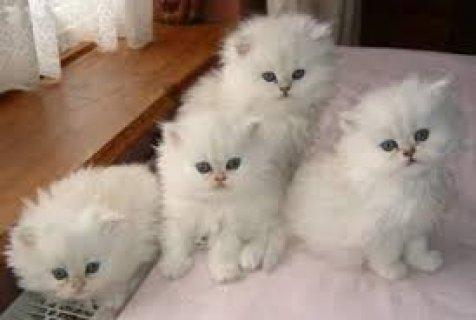 القطط لطيف لاعتماد