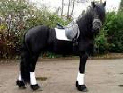 حصان الفريزيان عبور صياد للبيع