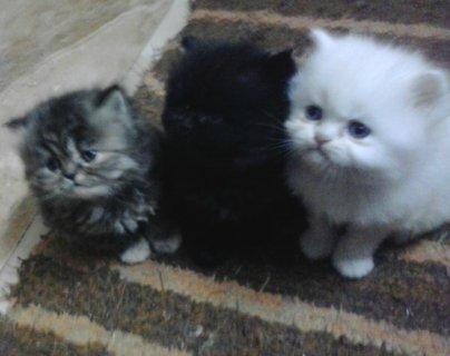 3 قطط شيرازى هاف بيكى _ عمر 45 يوم