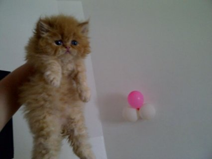 تصدير القطط الشيرازى الى كل دول العالم فقط بـ 200 جنيه