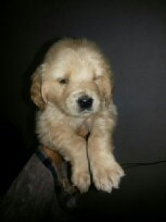 golden retriver  for sale