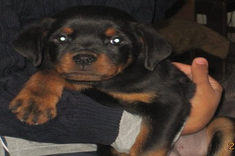 Pure (Male) Rottweiler Puppy
