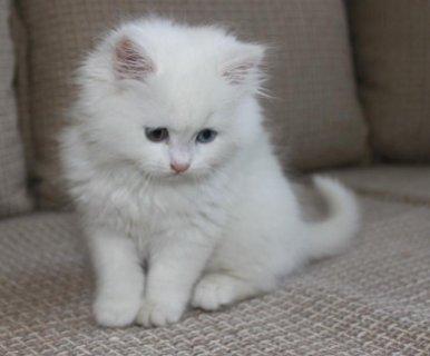 قطط بانواع كثيره موجود جميع الانواع وباسعار مغريه جدا >>.