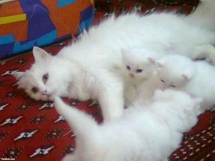 قطط شيراز للبيع باسعار مغريه ويوجد قطط حامل من بكى الحق نفسك