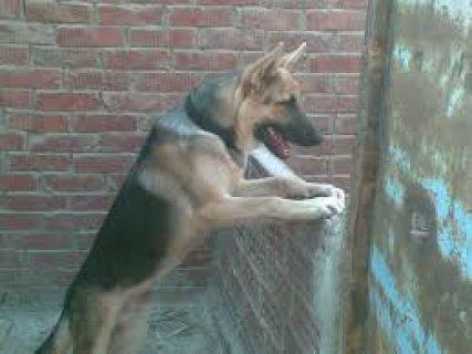 يوجد كلاب جيرمن للبيع تبداء سعرها من 800ج وكلاب شراسه وطاعه