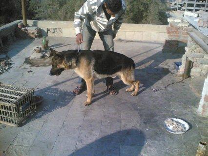 كلاب جيرمن للبيع فى القاهرة  يوجد كلاب تبداء سعرها من 800ج .