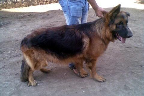 كلاب جيرمن للبيع فى القاهرة  يوجد كلاب تبداء سعرها من 800ج ..