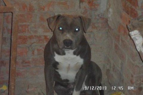 كلب بيتبول بلو  للبيع مستوي علي طاعة شراسة بلامر حفيد يوجي بطل م
