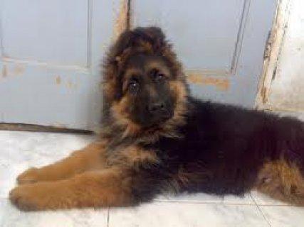 كلب جيرمن للبيع بجدية 3 شهور
