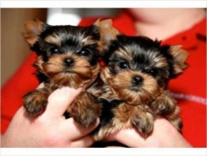 صور 2 Tea-cup Yorkie Puppies 1