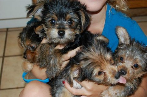 Adorable AKC Registered Yorkie Puppies Available