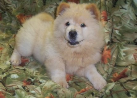 Adorable chow chow puppies For Adoption