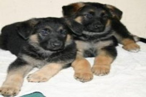 2 German Shepherd puppies available