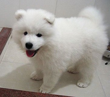 adoreble samoyed seill puppies