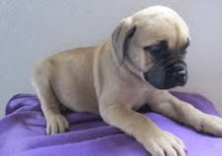 صور English Bull Mastiff Puppies	 1