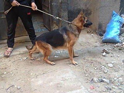 كلبه جيرمان حامل فى 32 يوم بس  كلبه من الاخر ولدت مره واحد