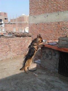 كلب جيرمان جميل جدا شرسه كويسه 10 شهور