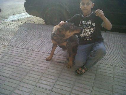 كلب ولف ازاز