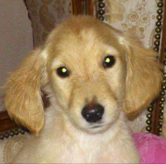 Pure Female Golden Retriever Puppy