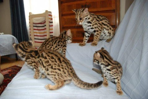 صور F1 Savannah kittens available  1