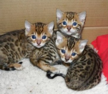 Cute Bengal Kittens For adoption......